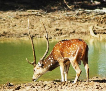 yala-safari-deer.jpg