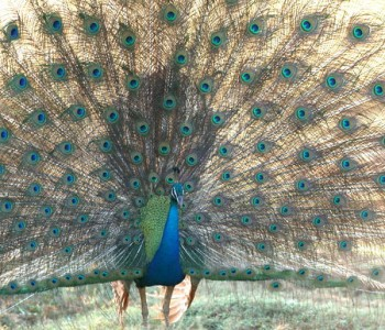yala-village-peacock.jpg