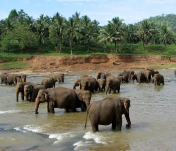 elephants-pinnawala-elephant-orphanage-2.jpg