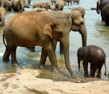 elephants-pinnawala-elephant-orphanage-3.jpg