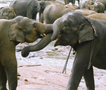 elephants-pinnawala-elephant-orphanage-6.jpg