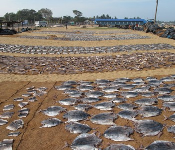 negombo-beach-drying-fish.jpg